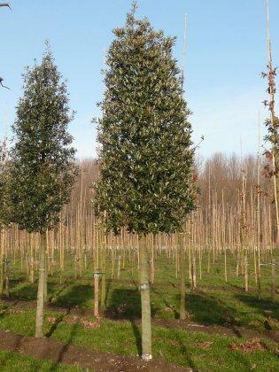 Quercus Ilex-1