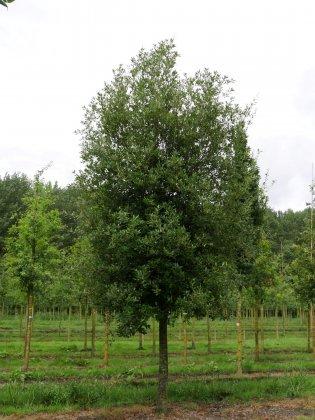 Quercus Ilex 3
