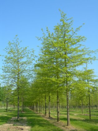 Quercus-palustris