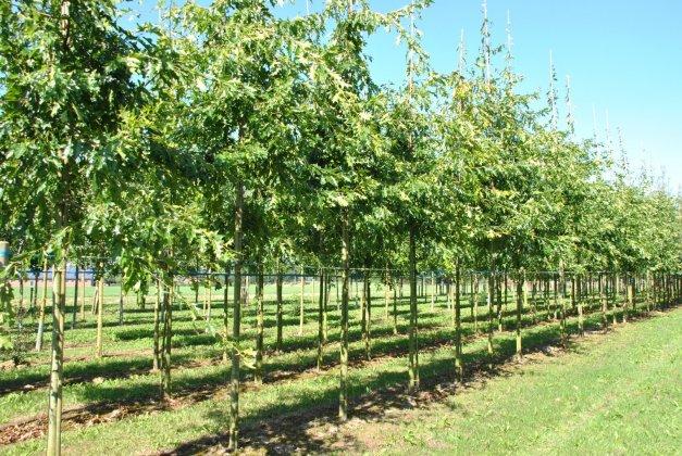Quercus Palustris-2