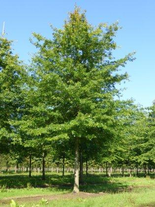 Quercus Palustris 1