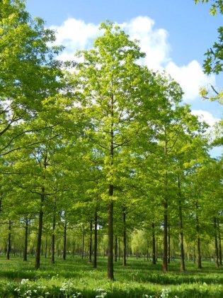 Quercus Palustris 2