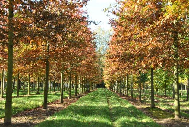 Quercus Palustris 3