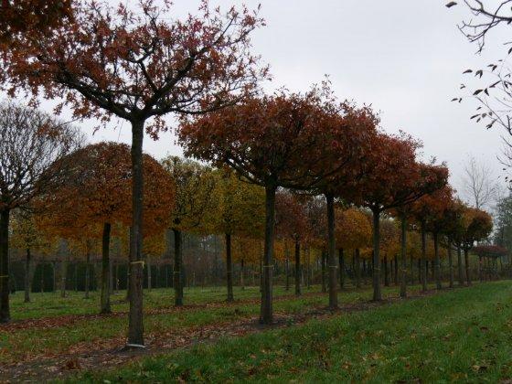 Quercus Palustris 4-1