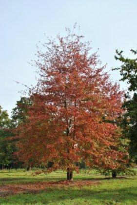Quercus Palustris 4