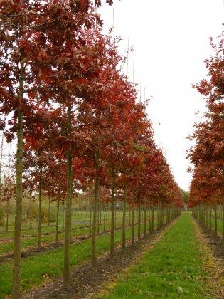 Quercus Palustris 5