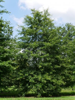 Quercus Palustris 6