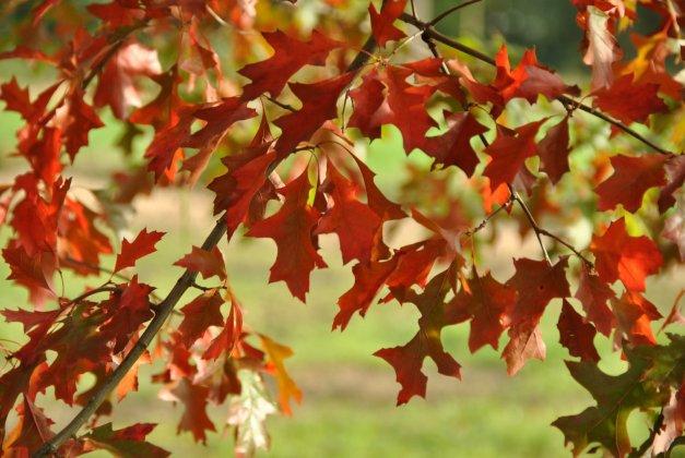Quercus Palustris 6 Large