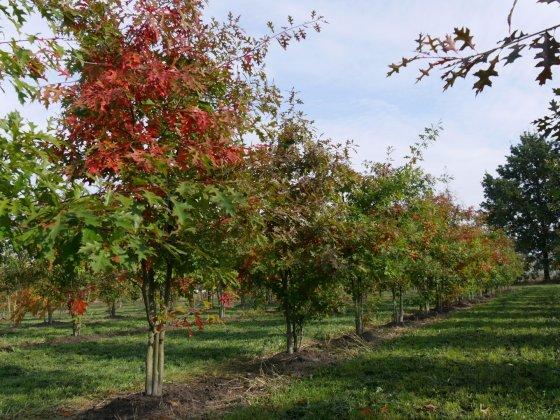 Quercus Palustris 7-1