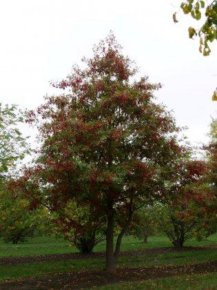 Quercus Palustris 8