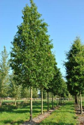 Quercus Palustris 9