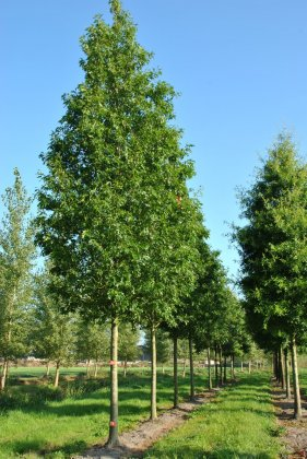 Quercus-palustris-helmond-s-red-globe