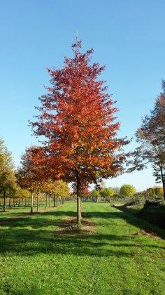 Quercus Palustris Woodside Splendor-1