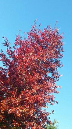 Quercus Palustris Woodside Splendor 3