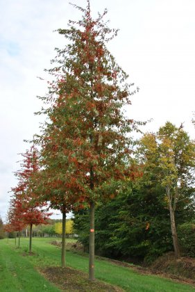 Quercus Palustris Woodside Splendor 5