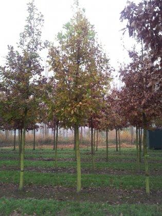 Quercus Petraea-1