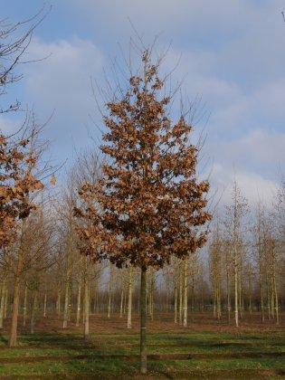 Quercus Petraea 1-1