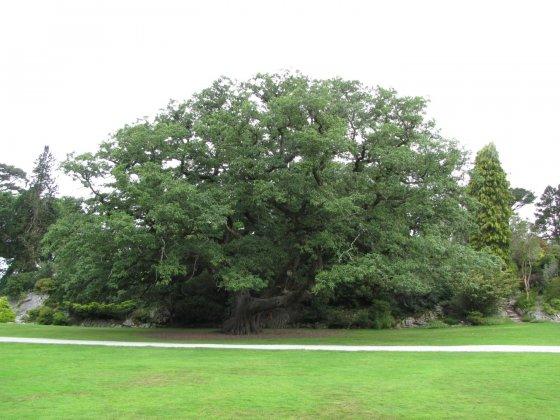 Quercus Petraea 1