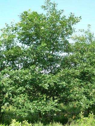 Quercus Petraea 2
