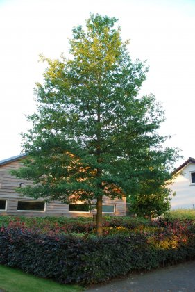 Quercus-phellos-hightower-qpsta
