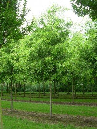 Quercus Phellos High Tower