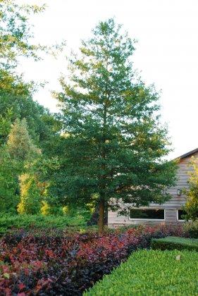Quercus Phellos Hightower-2