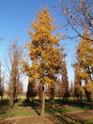 Quercus Pubescens-1