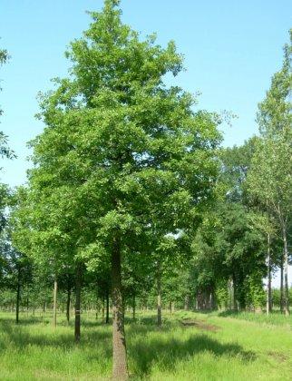 Quercus Pubescens 1-1