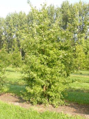 Quercus Pubescens 2