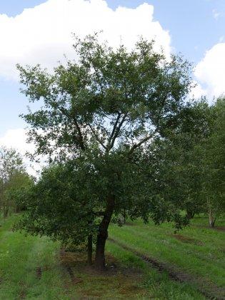 Quercus Pubescens 3