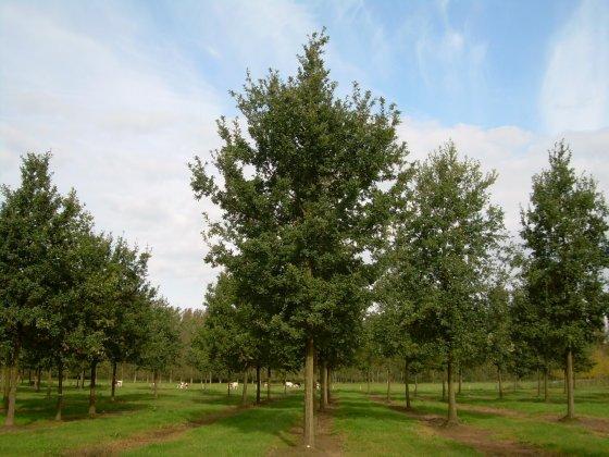 Quercus-robur