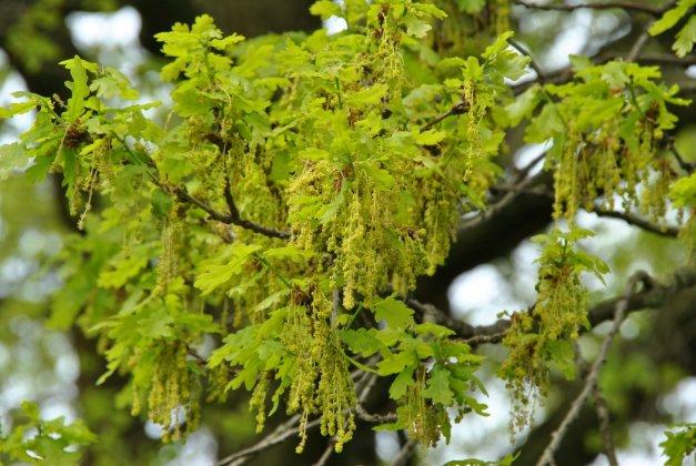 Quercus Robur-1