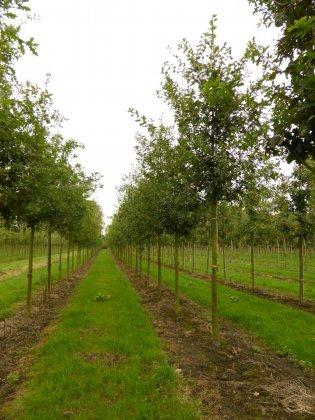 Quercus Robur 1-1