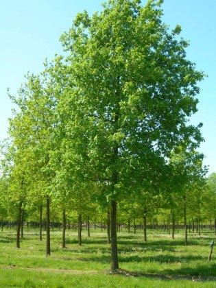 Quercus Robur 2