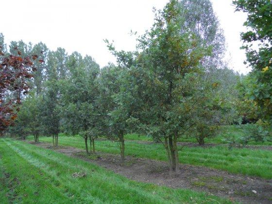 Quercus Robur 5