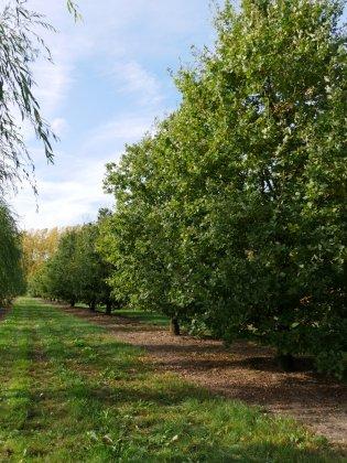 Quercus Robur 6