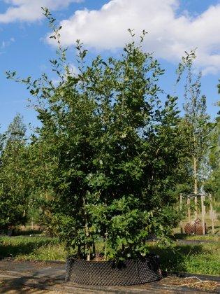 Quercus Robur 7