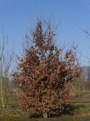 Quercus Roburs