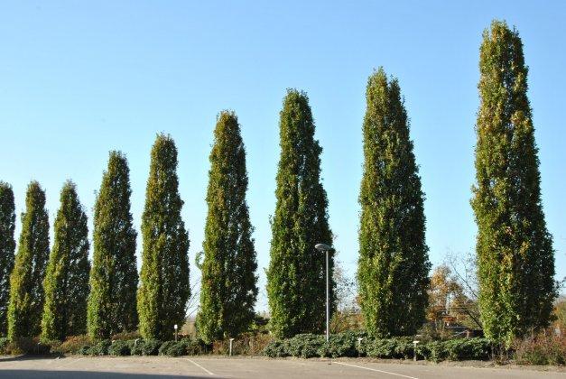 Quercus-robur-fastigiate-koster