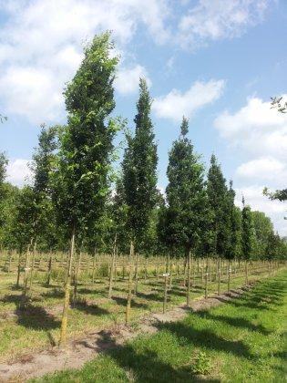 Quercus Robur Fastigiate Koster-1
