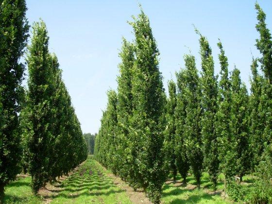 Quercus Robur Fastigiate Koster 1