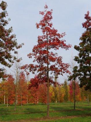 Quercus Rubra-1