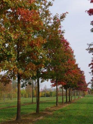 Quercus Rubra 1-1