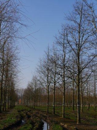 Quercus Rubra 1 2