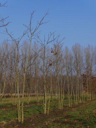 Quercus Rubra 2-1