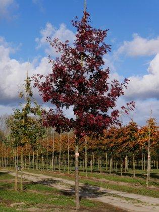 Quercus Rubra 3