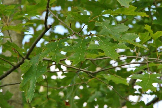 Quercus Shumardi