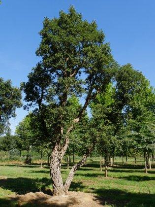 Quercus-suber