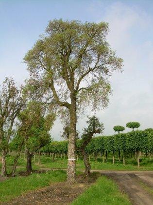Quercus Suber-1