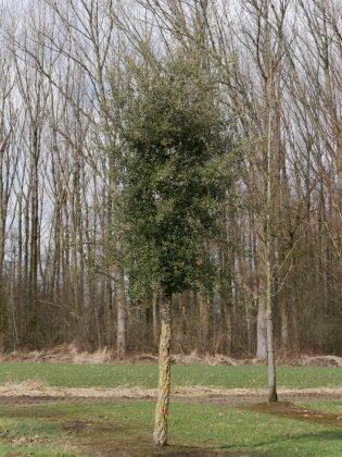 Quercus Subers
